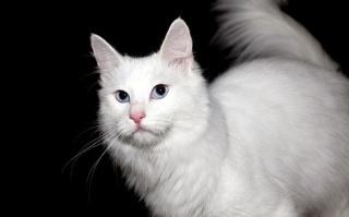 kucing-angora-lucu-245124