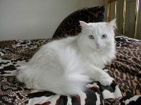 cara merawat kucing anggora, cara memelihara kucing anggora, tips merawat kucing anggora, tips memelihara kucing anggora, perawatan kucing anggora ,cara merawat kucing anggora ,cara perawatan kucing anggora ,cara merawat kucing angora