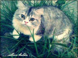 35 Jenis Kucing Peliharaan Terpopuler Yang Lucu Dan Menggemaskan